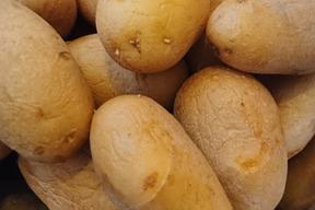 メークイン(ミニサイズ)4.5kg 農薬化学肥料不使用
