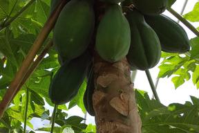 青パパイヤ  農薬・化学肥料不使用  2キロ