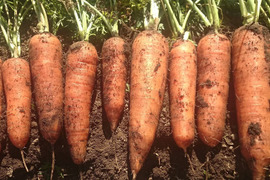 【最終大特価】無農薬栽培ニンジン*3kg