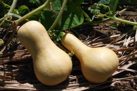 農薬・化学肥料不使用バターナッツかぼちゃ*2㎏