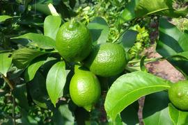無農薬グリーンレモン1kg