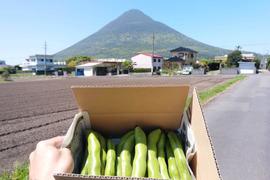 生産量日本一の指宿市のそら豆 【有機JAS取得】
