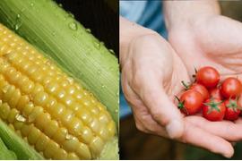 あまあまセット!生で食べられるフルーツコーン【5㎏】&完熟ミニトマト【2㎏】