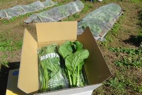 無農薬有機栽培 小松菜