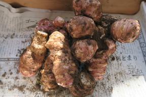希少!【無肥料・無農薬栽培】ほっこりな紫菊芋(1kg)