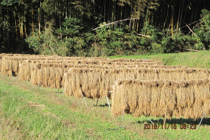 玄米 ( 肥料農薬不使用、自家採種、おだ掛け)