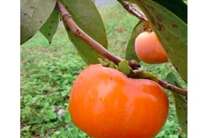 自然栽培の次郎柿 1kg