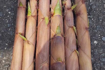 黒竹筍、布袋竹筍