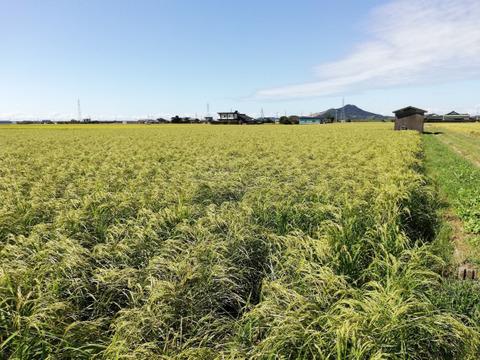 自然栽培 お米 19年 品種 朝日 玄米