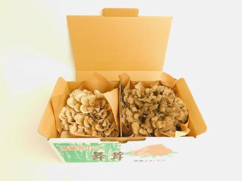 【期間限定】とび色舞茸と舞茸の食べ比べセット(早い者勝ち!!)
