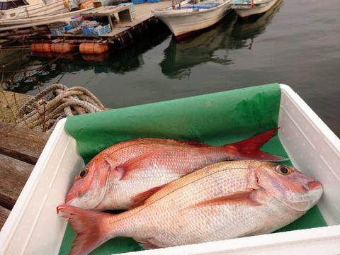 荒波に耐えた!天然糸島真鯛2匹セット(1匹800g~1キロ)