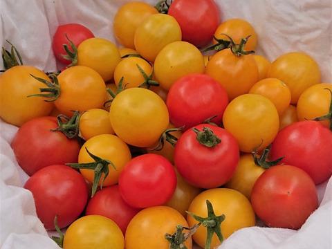 トマト好きに贈りたい♪5種のカラフル秋採れトマトセット(1kg)