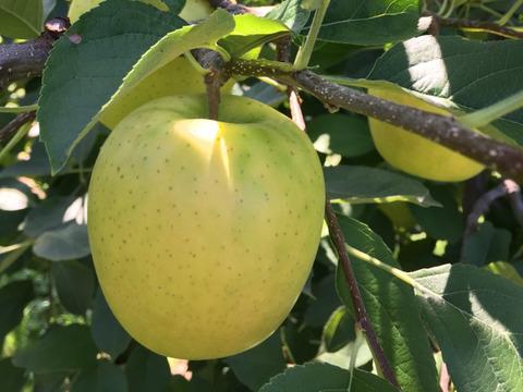 昔ながらの甘い青りんごの王様 【王林】 (7個から12個)