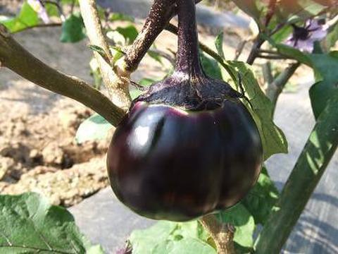 【有機JAS認証】信州伝統野菜「小布施丸茄子」(9個)