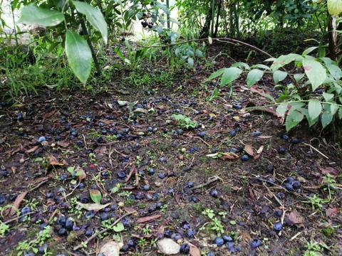 ♥️【生果実】♥️【ブルーベリー】 【1kg】◆【9月も雨の被害が続き困っています◆どうか助けてください】 小さめ粒で酸味も甘味もあっさりと自然な味◆応援ありがとうございます(*´ェ`*)