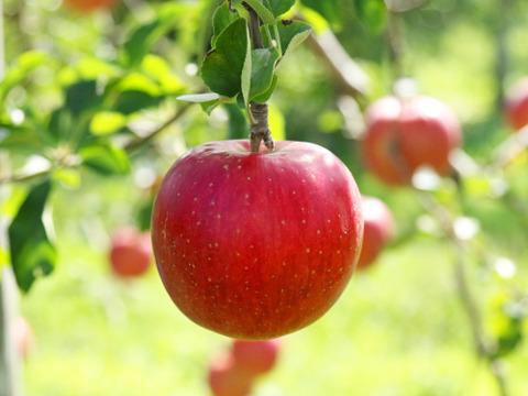 果汁たっぷりジューシーりんご🍎 つがる🍎青森りんご 4.5kg
