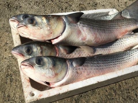 大詰め ボラ3匹(3枚卸し)・・・:香川県産 食べチョク 農家・漁師 ...