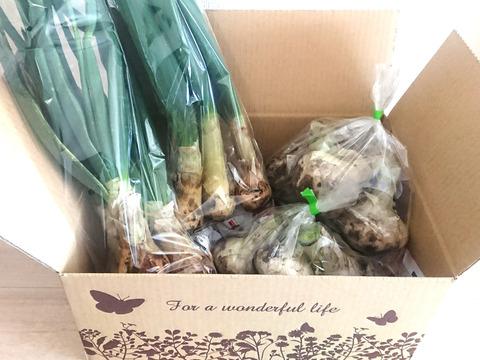 【農薬不使用】葉玉ねぎ&新たまねぎ2種食べ比べBOX!!約1.5kg★3月第2週発送 限定4セット★
