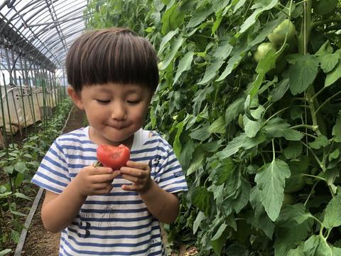 【順次発送:4.5kg】樹上完熟!美味しい桃太郎トマト大きさ色々