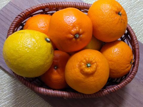 【お試し2kg箱】旬の柑橘で味比べ!柑橘セット