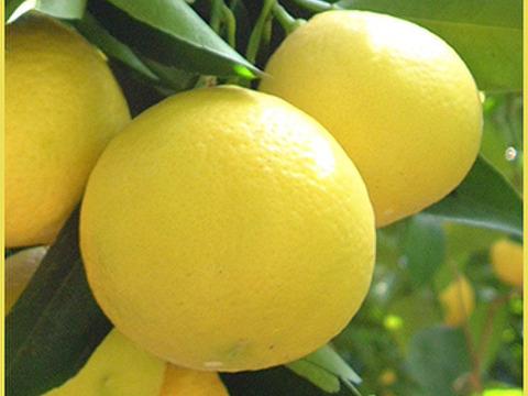 ニューサマーオレンジ4kg