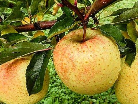 とにかく甘い‼︎ 希少品種🍏サン金星🍏 4.5kg