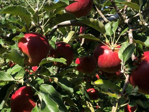 樹上完熟葉取らず紅玉。昔懐かしい、甘酸っぱい味。ジャム、アップルパイに最適。でも、本当は丸かじりしてほしい。約3キロ。