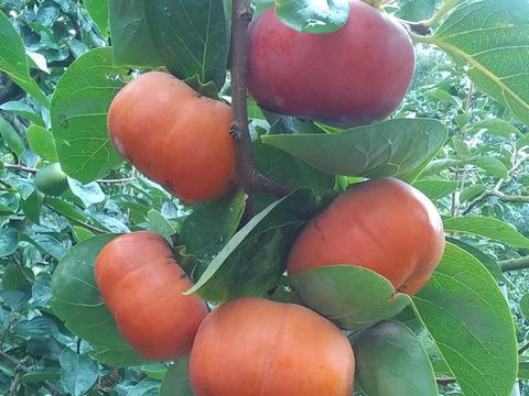 【訳あり早秋柿】極早生甘柿(糖度12度)4kgセット和歌山産