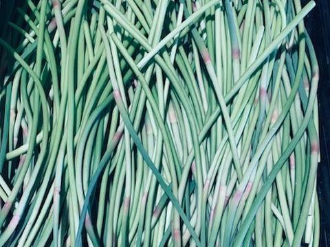 採れたて 自然栽培 にんにくの芽 500g 国産希少