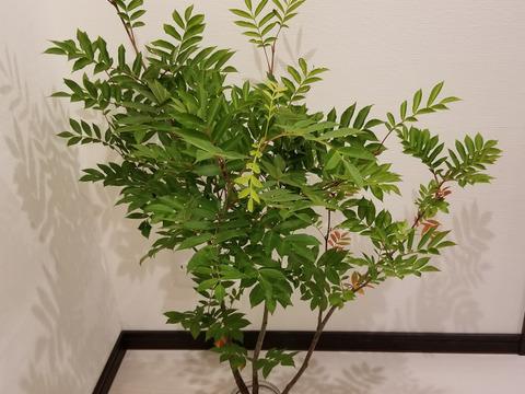 ★オーガニック花木予約販売★ナナカマド(90㎝)《季節の枝モノでグリーン豊かな生活を!》