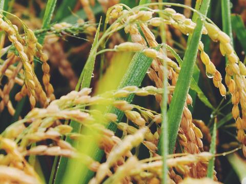 《はえぬき》【新米 令和元年収穫】【精米 5kg】山形県飯豊町下椿産