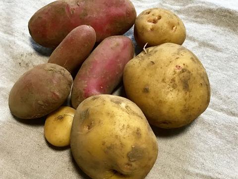 【農薬化学肥料不使用】赤白ミックス じゃがいも食べ比べセット 1キロ【赤多め】