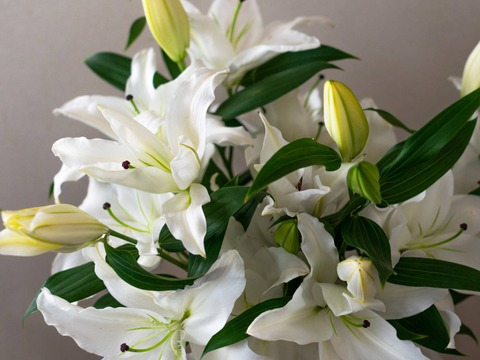 【通常版】~Life with Lilies~【オリエンタルユリ白5本束 】おうち時間を彩る・・・♥