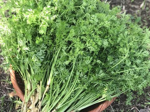 【無農薬・無肥料】柔らかくて食べやすい!葉にんじん1kg(人参の間引き菜)