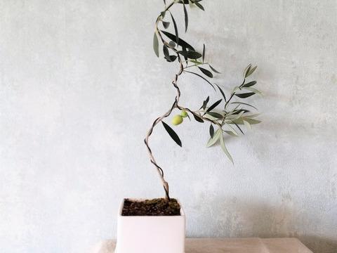 【ギフトにも◎】オリーブ盆栽 アルベキーナ  (PS73)