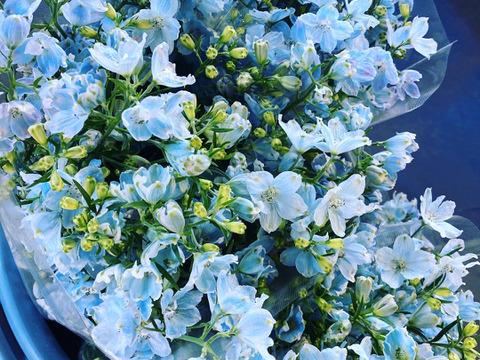 1度で4回楽しめるお花♪仏花にも◎規格外品 デルフィニウム 薄水色 25本