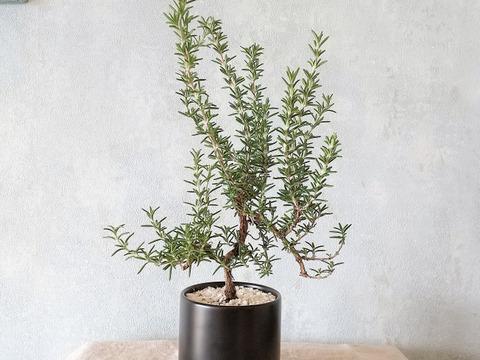 【食べられる盆栽】ローズマリー盆栽 サンタバーバラ (PS84)