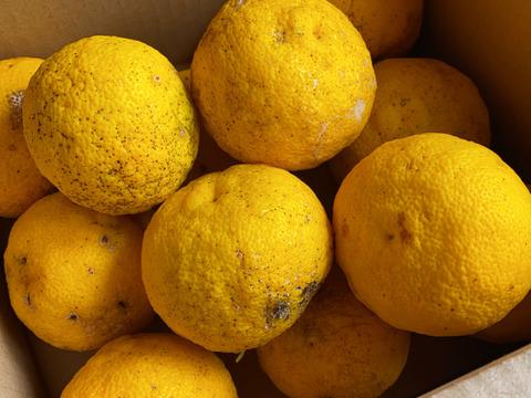 皮まで美味しい!加工用 自然栽培 黄柚子1k(11個前後) (チルド発送)