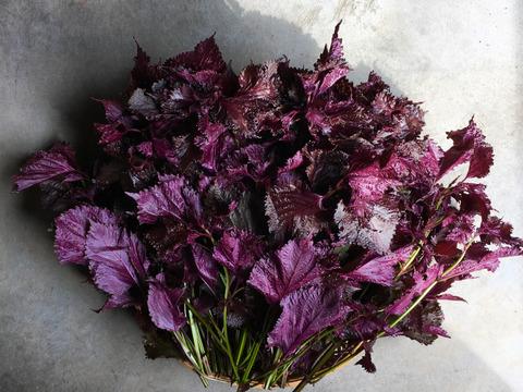 【セールスタート】本物の有機ちりめん赤紫蘇1kg!大原の伝統品種を自家製の梅干しや紫蘇ジュースに!たっぷり1kg(枝付重量)