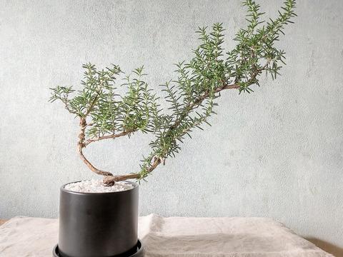 【食べられる盆栽】ローズマリー盆栽 サンタバーバラ (PS70)
