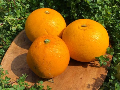 今シーズン最終ご案内です!【農薬不使用】初春お試しセットねこ農園のネーブルオレンジ1kg&八朔2kg