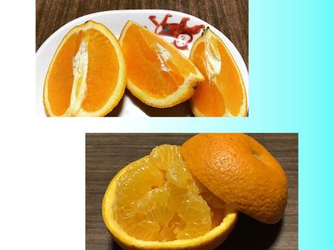 【食べ比べ】こだわりの絶品はっさく1キロ&希少なネーブルオレンジ1キロ