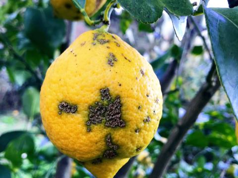 【熱海産♨農薬化学肥料不使用】「熱海レモン2020」B(Bravo)チーム 約1kg