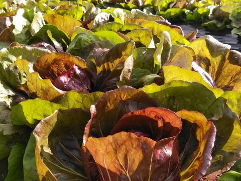 【珍しいイタリア野菜】赤チコリ(トレビス)4個売り(200g以上×4個)
