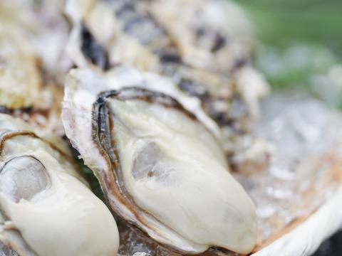 【予約受付中!】ぷりぷりまろやか✨袈裟丸牡蠣10キロ(100個前後)〜玄界灘産カキ〜