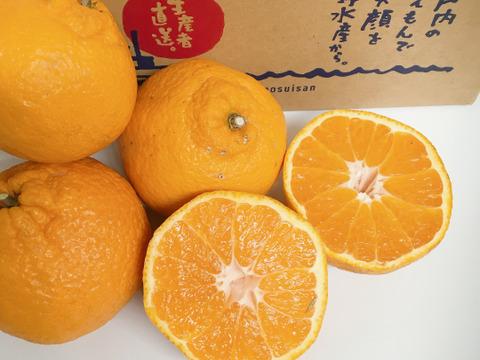 みかんがミシミシ詰まってお試し柑橘の王様デコポンと名乗れないけど不知火(しらぬい) 家庭用1.5キロ段々畑育ち