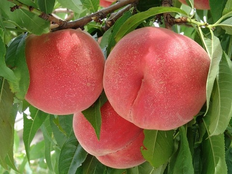 【2022年先行予約】お盆前が旬の固い桃「川中島白桃」約2kg・6~8玉1箱・山梨県南アルプス上宮地産