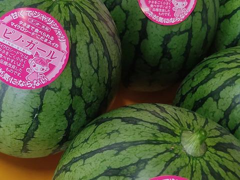 【タネごと食べられる小玉スイカ】 2玉セット。宮崎県海沿いの町、高鍋産小玉スイカ(ピノガール)