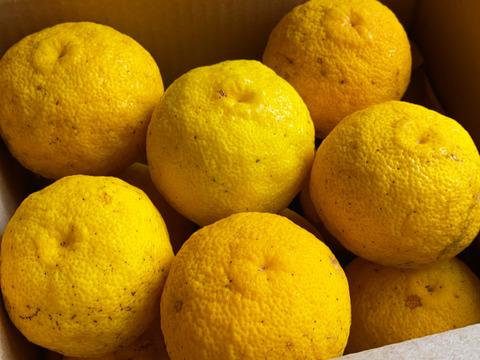 皮まで美味しい!自然栽培 黄柚子12玉(チルド発送)