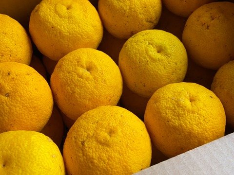 皮まで美味しい!自然栽培 黄柚子96玉(チルド発送)